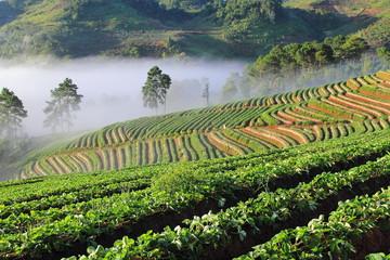 Beautiful landscape and fresh strawberries farm