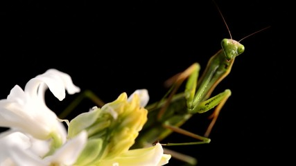 green praying mantis on flower - Mantis religiosa