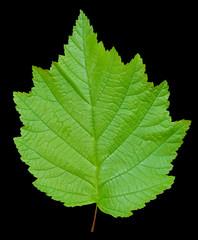 Leaf of alder 4