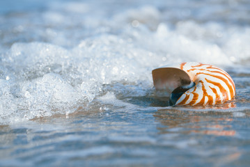 nautilus shell with sea wave,  Florida beach  under the sun ligh