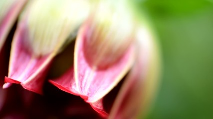 Dahlia bud - close up