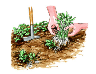 Planting seedlings. Botany