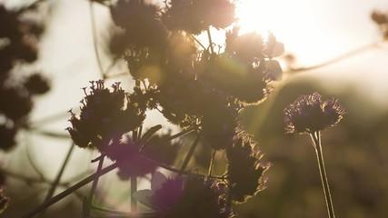 Lila Blüten im Gegenlicht 01