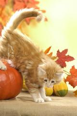 Kätzchen in Herbstdekoration