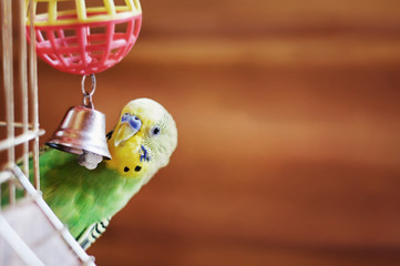 Domestic budgie sitting with his toy friend.
