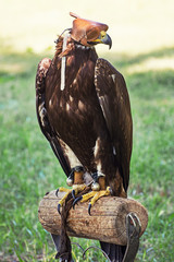 Large bird of prey with a leather cap on his head