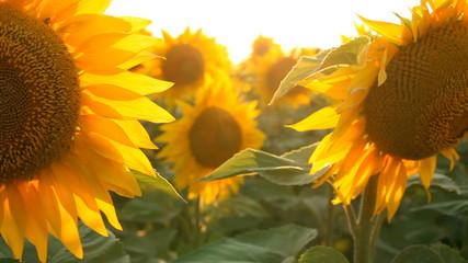 Sunflowers field. Shot with motorized slider