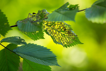 Green leafs eaten by insect, with smooth lush green background