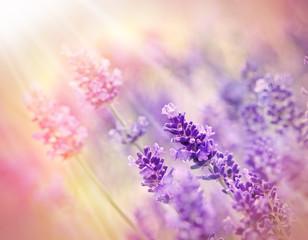 Soft focus on beautiful lavender - lit by sunbeams