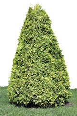 Evergreen coniferous tree isolated