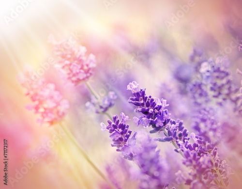 Deurstickers Lavendel Soft focus on beautiful lavender - lit by sunbeams