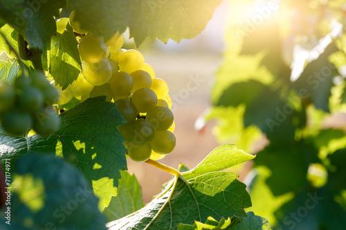 grappe de raisin au soleil