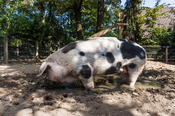 Pig in a mud.  big pig standing in mud