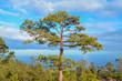 Pine Woods