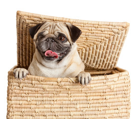 pug dog in  box isolated on white background.