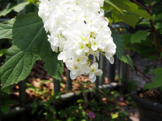 白い紫陽花(縦長)
