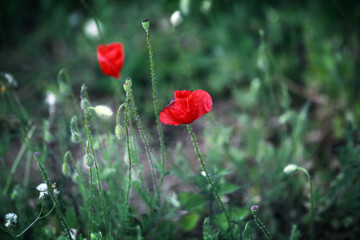 Wild bright red poppies flowers