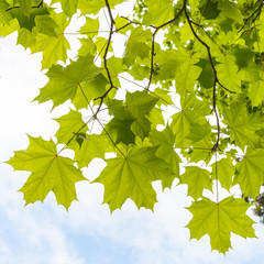 Green maple leaves above cloudy sky background