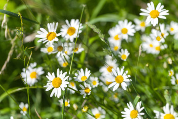 Wild daisies grow on a summer meadow
