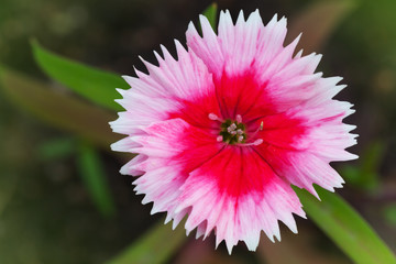 Wild carnation red flower. Macro photo with selective focus
