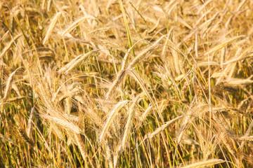 Closeup photo of ears on golden field of rye