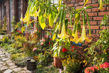 Brugmansia and other blooming flowers in front of a facade