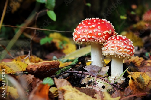 Fliegenpilze im Herbstlaub - 71178312