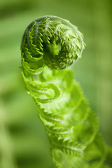 Vertical macro photo of young fern sprout with selective focus