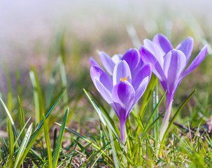 Crocus flowers on the spring meadow, macro photo