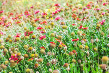 Red and yellow flowers on summer meadow
