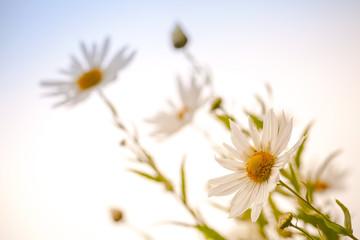 Macro photo of big white daisies above bright blue sky