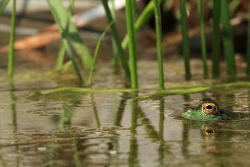 rana verde anfibio rettile