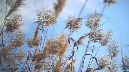 Dry reed grass on a sunny autumn day. 1920x1080 full hd footage.