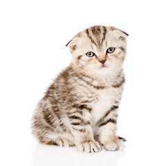 sad lop-eared Scottish kitten looking at camera. isolated on whi