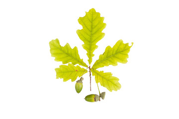 Oak leaf and acorn isolated on white background