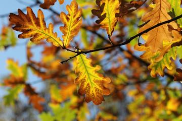 autumn leaves oak