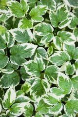 Green-white leaves