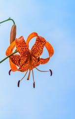 Lilium leichtlinii var. Tigrinum, Japan endemic species