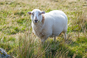 Sheep in a meadow