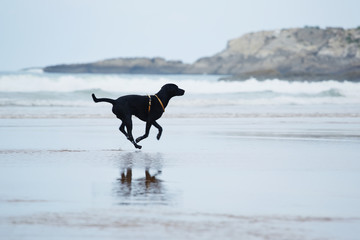 Purebred labrador retriever running with speed on beach
