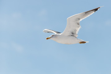 white elegant seagull flying with huge wings at blue sky