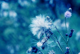 Blue abstract dandelion flower background - 71188517