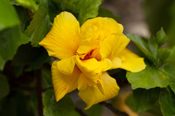 Big beautiful yellow flower