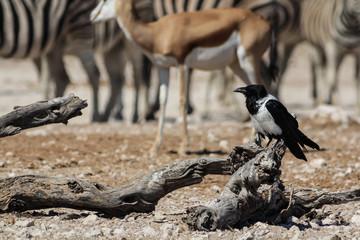 Pied Crow at the Waterhole, Etosha, Namibia