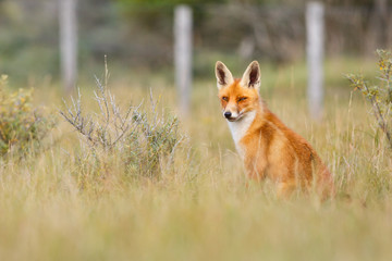Red fox in a countryside landscape