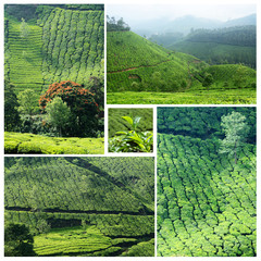 Collage of famous Munnar tea plantations,India,Western Ghats