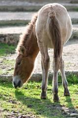 Horse Przewalskis