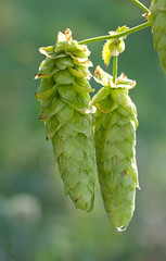 Pair of Cascade Hops on Vine