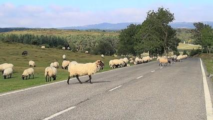 Ovejas en carretera