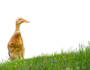 Duck isolated